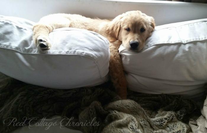 Charlie, the Golden Retriever Puppy