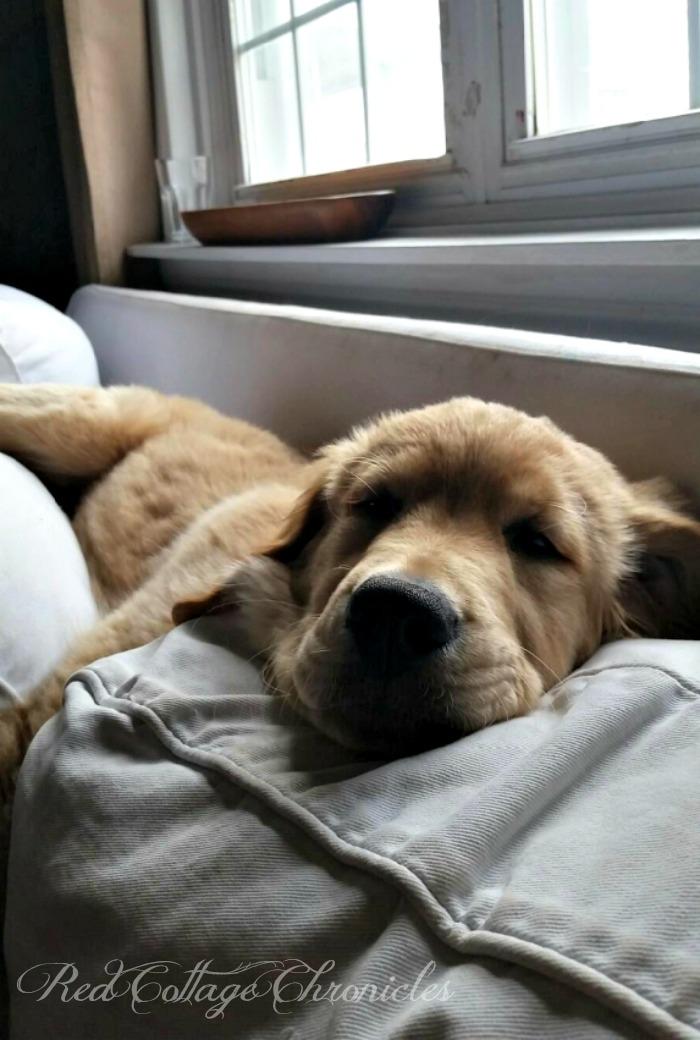 Charlie the Golden Retriever Puppy