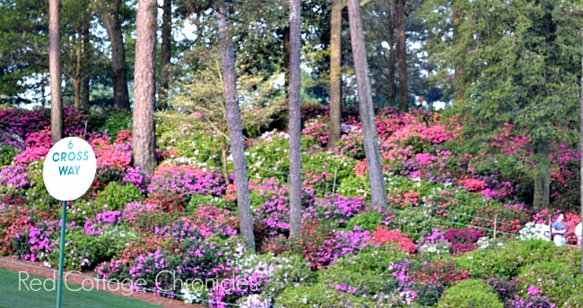 Azaleas at the Masters Augusta National