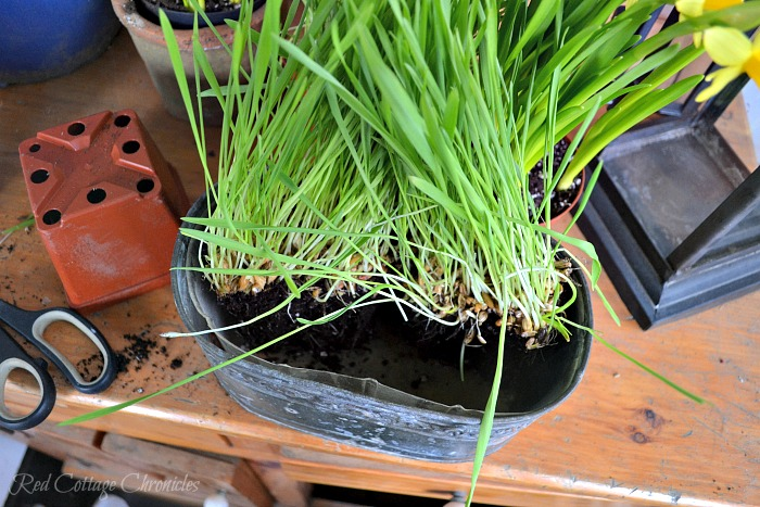 Daffodil and Cat Grass DIY Spring Planter