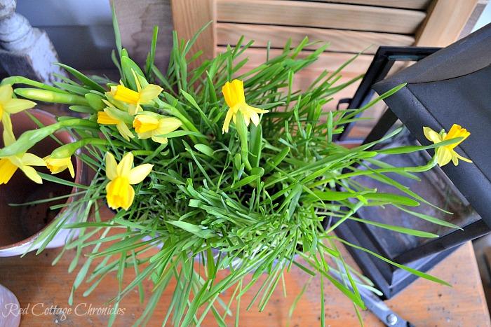 DIY Spring Planter with Mini Daffodils