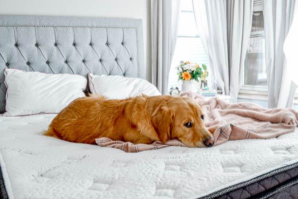 Golden Retriever sleeping on Logan & Cove mattress